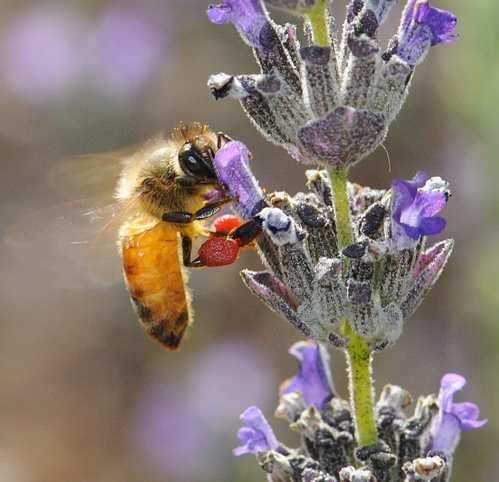 HONEY BEE, packing red pollen from nearby rock purslane blossoms, nectars lavender. (Photo by Kathy Keatley Garvey)