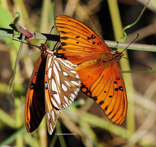 Gulf Fritillaries (Agraulis vanillae) mating on a passionflower vine. (Photo by Kathy Keatley Garvey)