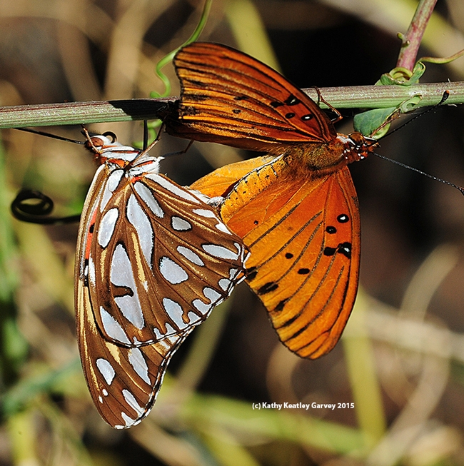 Mating of the Gulf Fritillaries resumes. (Photo by Kathy Keatley Garvey)