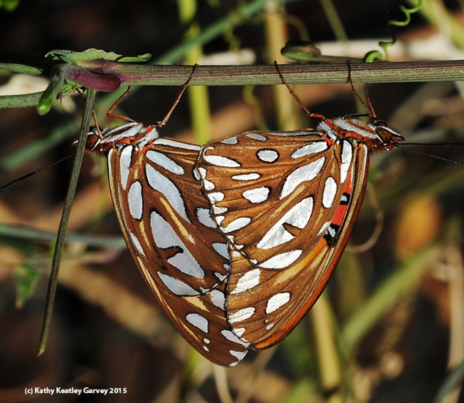 In this photograph,  note the silver-spangled wings of the mating Gulf Fritillaries. (Photo by Kathy Keatley Garvey)
