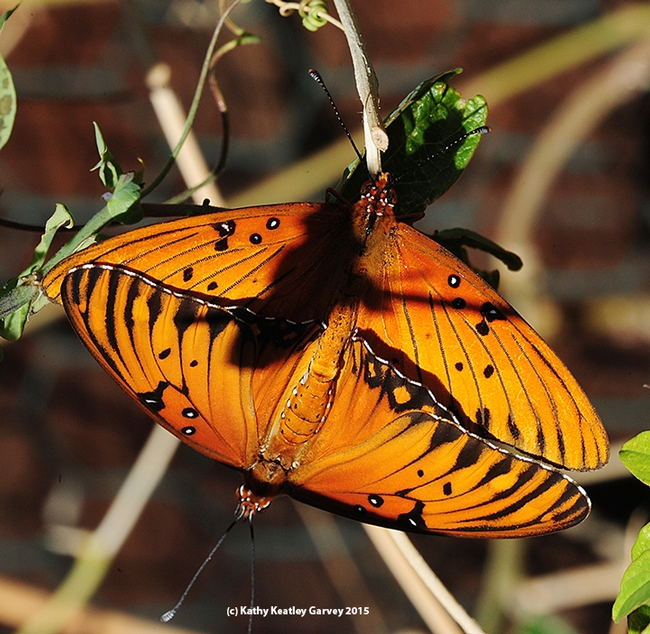 The showy and spectacular Gulf Fritillaries. The shadow is a Passiflora leaf. (Photo by Kathy Keatley Garvey)