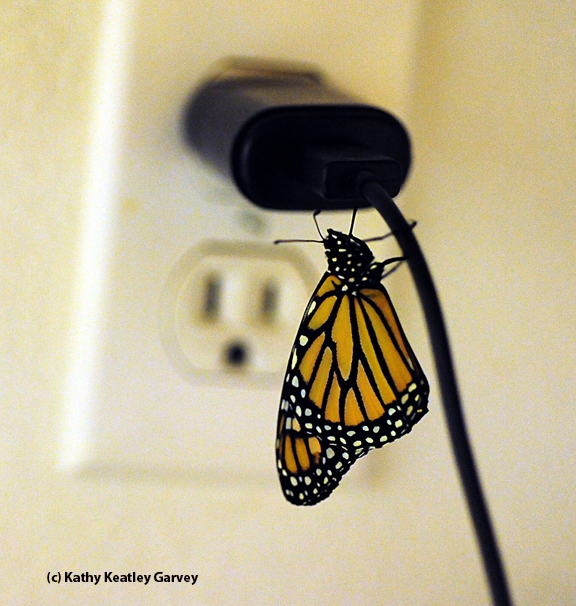 The monarch climbs to the top of the cord. (Photo by Kathy Keatley Garvey)