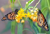 A male (left) and female monarch on a scarlet milkweed. (Photo by Kathy Keatley Garvey)