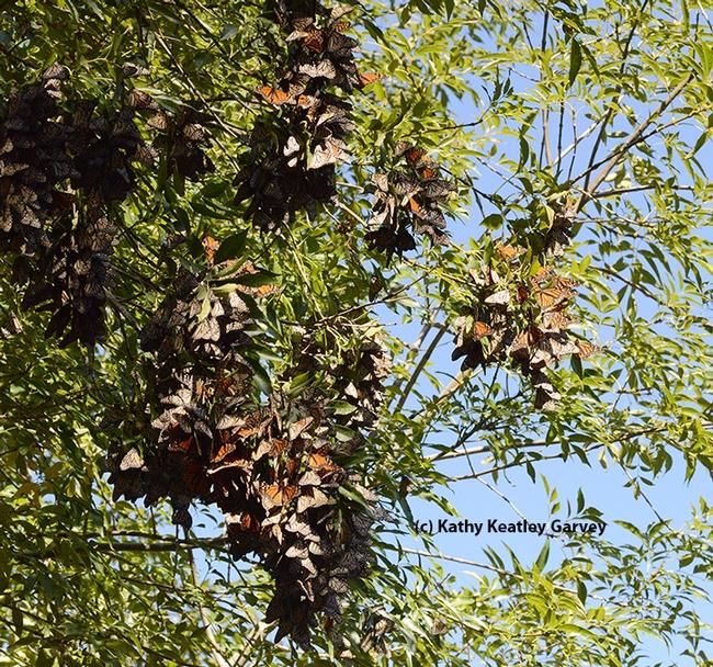 Roosting monarchs at the Berkeley Aquatic Park look like dried leaves, as one observer said. (Photo by Kathy Keatley Garvey)