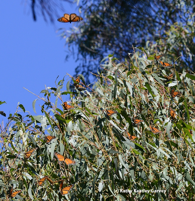 Monarchs roosting in the ash tree fly over to the adjacent eucalyptus tree as the sun warms them. (Photo by Kathy Keatley Garvey)
