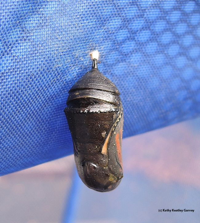This monarch chrysalis, hanging outdoors in a hamper, is apparently not viable. It turned from jade green to back on Nov. 15.  (Photo by Kathy Keatley Garvey)