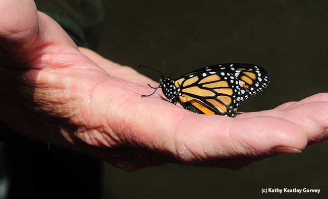 An earlier success in monarch rearing.  (Photo by Kathy Keatley Garvey)