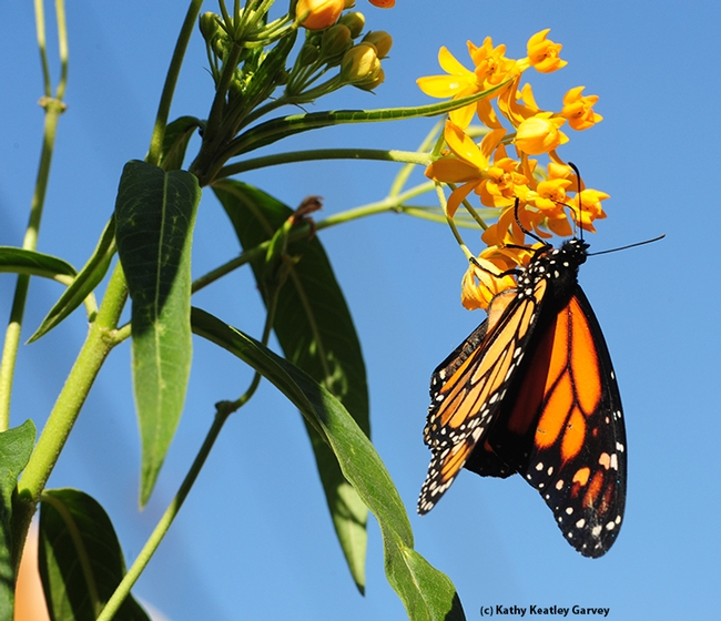 A newly released monarch on a milkweed. (Photo by Kathy Keatley Garvey)