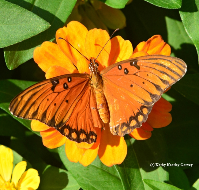 A Gulf Fritillary (Agraulis vanillae) spreads its wings on a yellow zinnia. (Photo by Kathy Keatley Garvey)