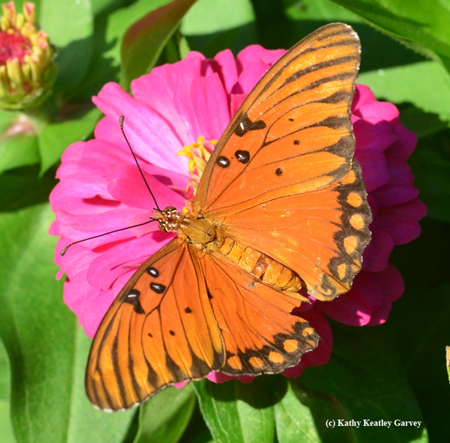 A  Gulf Fritillary (Agraulis vanillae) lands on a pink zinnia. Good thing the fashion police aren't around.(Photo by Kathy Keatley Garvey)