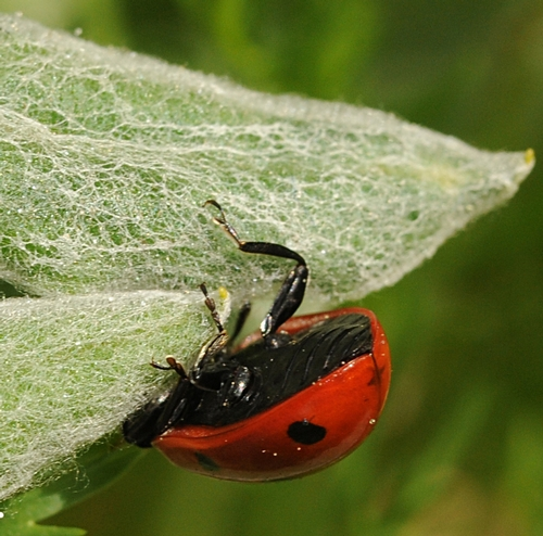 ARE THERE MORE aphids on the other side? A ladybug flips over. (Photo by Kathy Keatley Garvey)