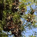 Monarch butterfly roosting in Berkeley Aquatic Park in November. They are at the 14th disc golf course in an ash tree. (Photo by Kathy Keatley Garvey)