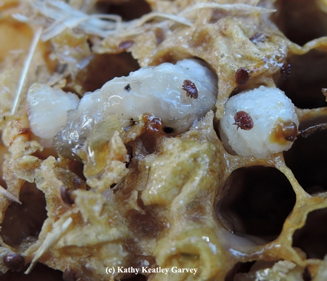 Varroa mites are Pubic Enemy No. 1 of beekeepers. (Photo by Kathy Keatley Garvey)