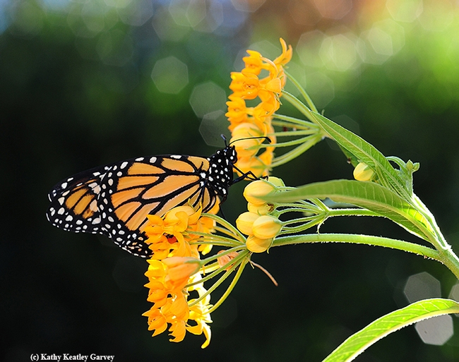 A monarch butterfly nectaring on its host plant, milkweed, in Vacavile, Calif. Monarchs west of the Rockies overwinter along the California coast, and monarchs east of the Rockers overwinter in central Mexico. (Photo by Kathy Keatley Garvey)