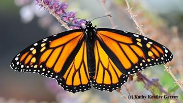 A female monarch. (Photo by Kathy Keatley Garvey)