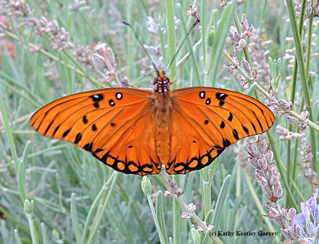 The Gulf Fritillary spreads its magnificent wings and takes flight. (Photo by Kathy Keatley Garvey)