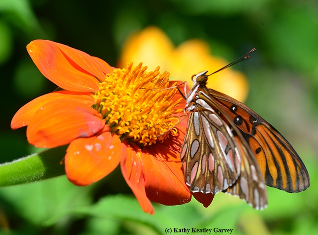 Gulf Fritillary on a Mexican sunflower (Tithonia). (Photo by Kathy Keatley Garvey)