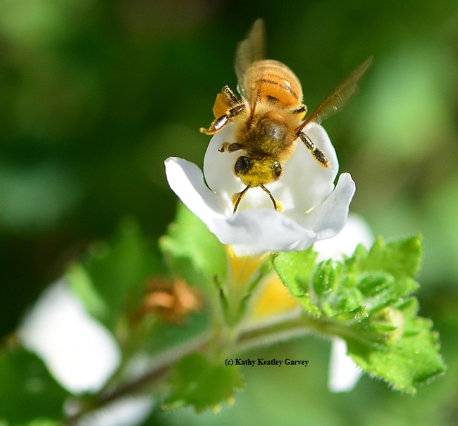 A honey bee, Apis mellifera, foraging on a Bacopa. (Photo by Kathy Keatley Garvey)