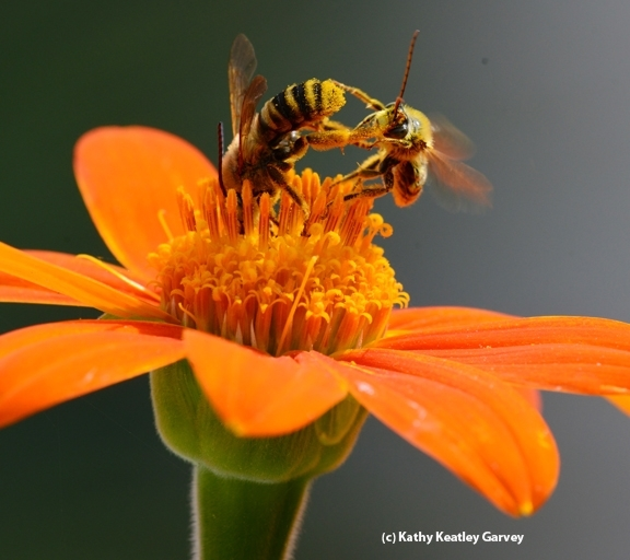 Two sunflower bees battle it out: a male Svastra (larger bee delivers quick kick to a smaller male Melissodes. The flower is a Mexican sunflower, Tithonia. (Photo by Kathy Keatley Garvey)