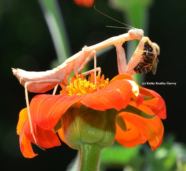 A praying mantis eating a bee, predator vs. prey. (Photo by Kathy Keatley Garvey)