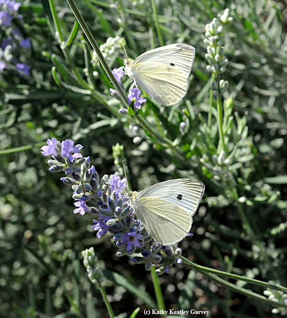 Two cabbage white butterflies foraging on catmint in the summer of 2008 in Vacaville, Solano County. (Photo by Kathy Keatley Garvey)