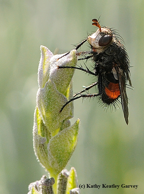 A tachinid fly. (Photo by Kathy Keatley Garvey)