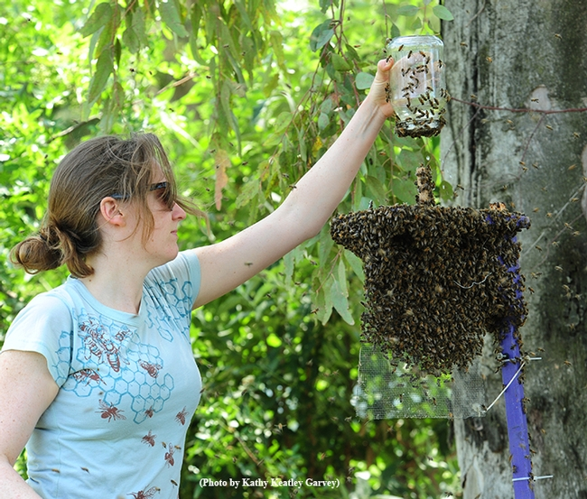 Elizabeth Frost getting ready for an after-hours bee beard activity. (Photo by Kathy Keatley Garvey)