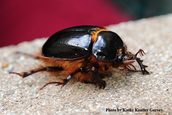 Rain beetles are large and shiny. (Photo by Kathy Keatley Garvey)