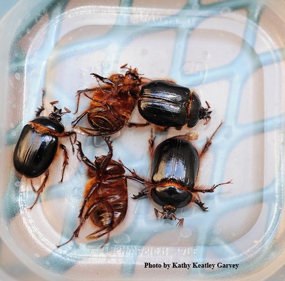 A collection of rain beetles, thought to be Pleocoma fimbriata, from Plymouth, Amador County. (Photo by Kathy Keatley Garvey)