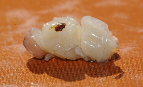 VARROA mite is quite visible on this honey bee pupa. It's a blood-sucking parasite. (Photo by Kathy Keatley Garvey)