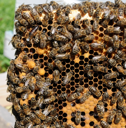 CLOSE-UP of a frame shows the queen bee (upper left) and her colony. (Photo by Kathy Keatley Garvey)
