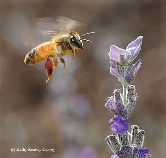 Seeing red...a honey bee packing red pollen heads for lavender. (Photo by Kathy Keatley Garvey)