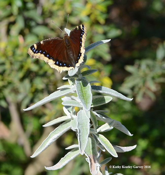 Mourning cloak touches down Feb. 6, 2016 on a butterfly bush, Buddleia