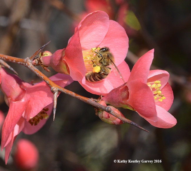 Honey bee foraging on flowering quince. (Photo by Kathy Keatley Garvey)