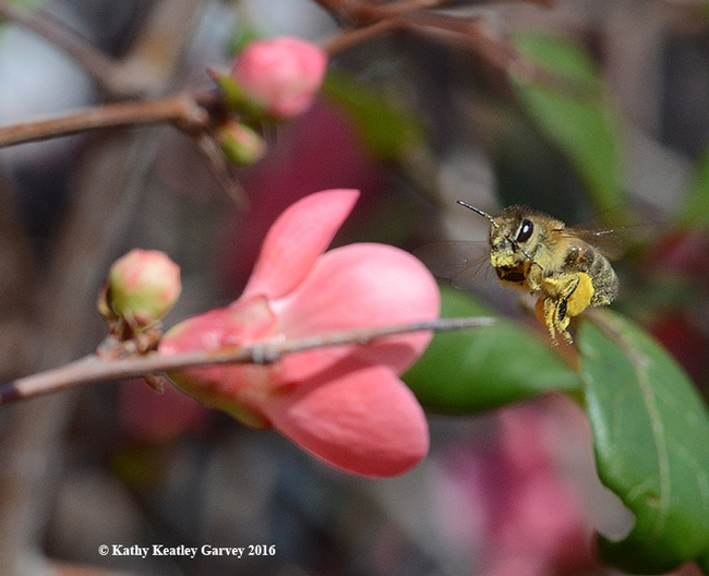 Full speed ahead--A pollen-laden honey bee heads for another quince blossom. (Photo by Kathy Keatley Garvey)