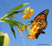 Monarch butterfly feeding on milkweed. (Photo by Kathy Keatley Garvey)