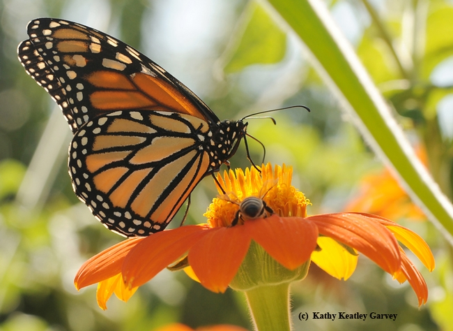 Monarch and a honey bee sharing a Mexican sunflower, Tithonia. (Photo by Kathy Keatley Garvey)
