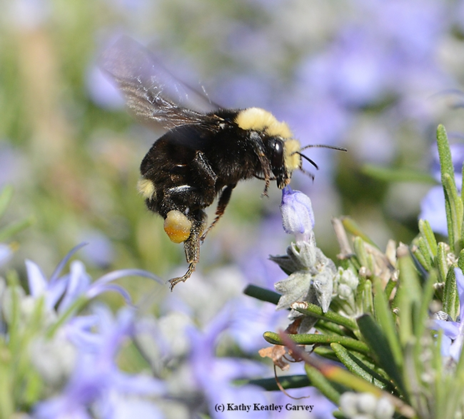 Yellow-faced bumble bee, Bombus vosnesenskii, packing a mixed load of pollen from the flowers near her. (Photo by Kathy Keatley Garvey)
