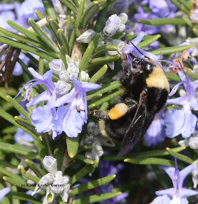The mixed pollen load is highly visible here: the female Bombus vosnesenskii is foraging on rosemary, but her load indicates she previously visited California golden poppy, oxais, wild radish and mustard. (Photo by Kathy Keatley Garvey)