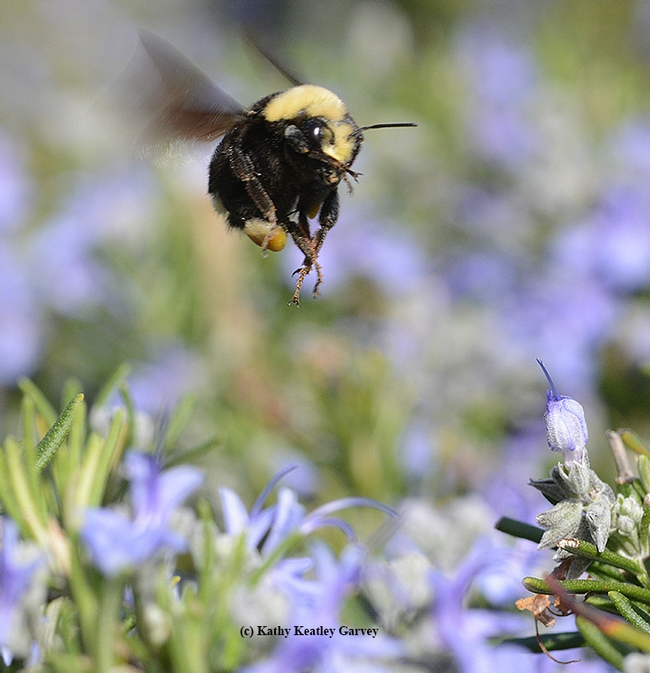 Coming in for a landing--a bumble bee ballet. This is the yellow-faced bumble bee, Bombus vosnesenskii. (Photo by Kathy Keatley Garvey)