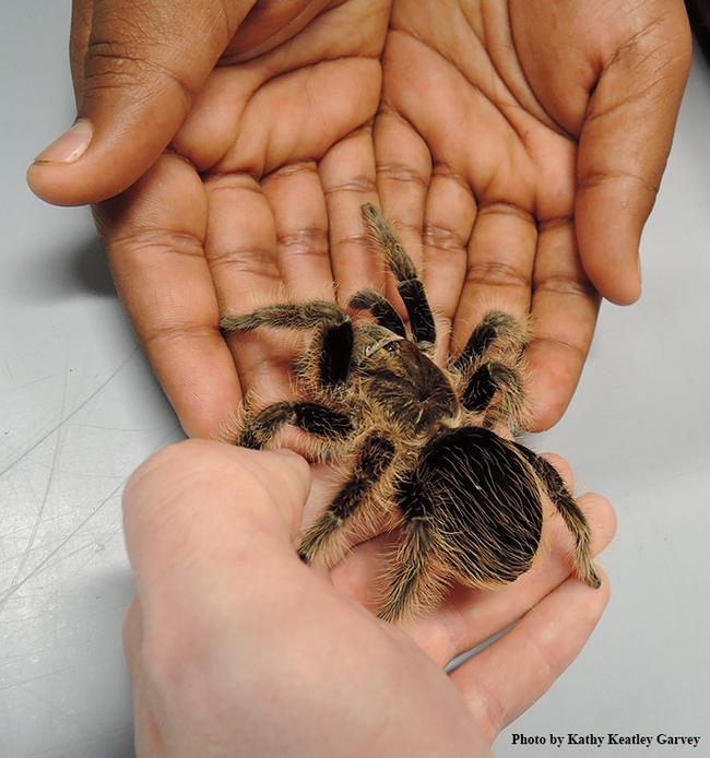 Exchanging a curly haired tarantula at the Bohart Museum of Entomology. (Photo by Kathy Keatley Garvey)
