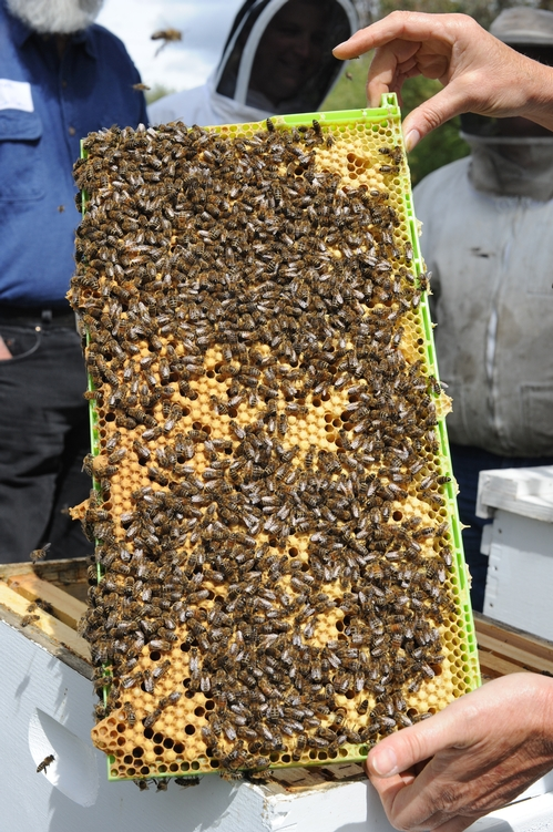 THIS FRAME shows a thriving brood. The queen is definitely busy laying eggs. (Photo by Kathy Keatley Garvey)