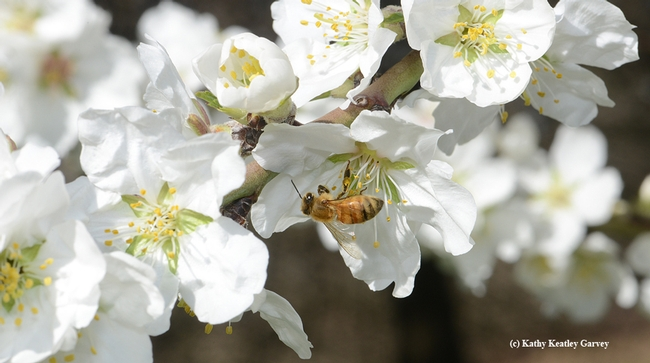 Honey bee pollinating an almond blossom. California now has a million acres of almonds, and each acre requires two colonies for pollination. (Photo by Kathy Keatley Garvey)