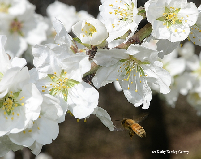 A honey bee heads toward almond blossoms on Bee Biology Road, UC Davis. (Photo by Kathy Keatley Garvey)
