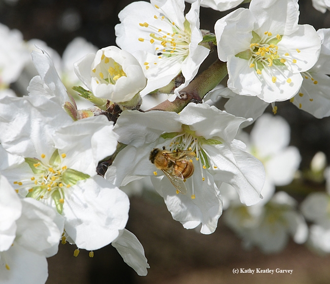 Both pollen and nectar await the honey bee.(Photo by Kathy Keatley Garvey)