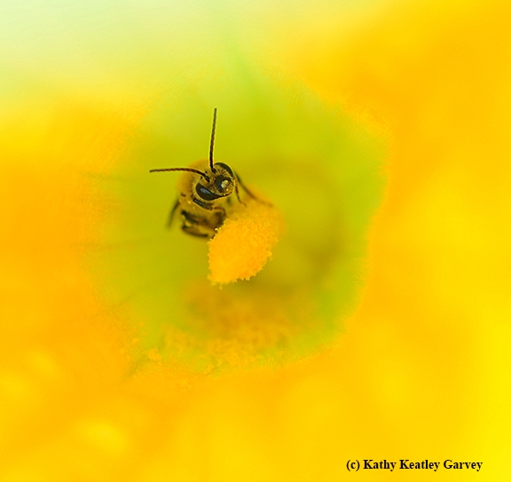 A squash bee, Peponapis pruinosa, pollinating a squash blossom. (Photo by Kathy Keatley Garvey)
