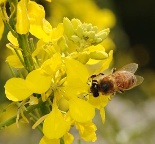 Honey Bee on Mustard