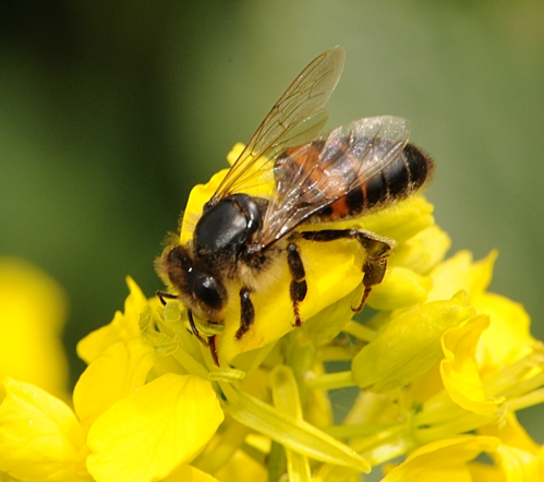 Elderly Bee