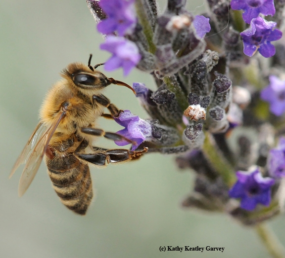 A varroa mite attached to a honey bee forager. It's the reddish brown spot near the wing. The bee is foraging on lavender. (Photo by Kathy Keatley Garvey)