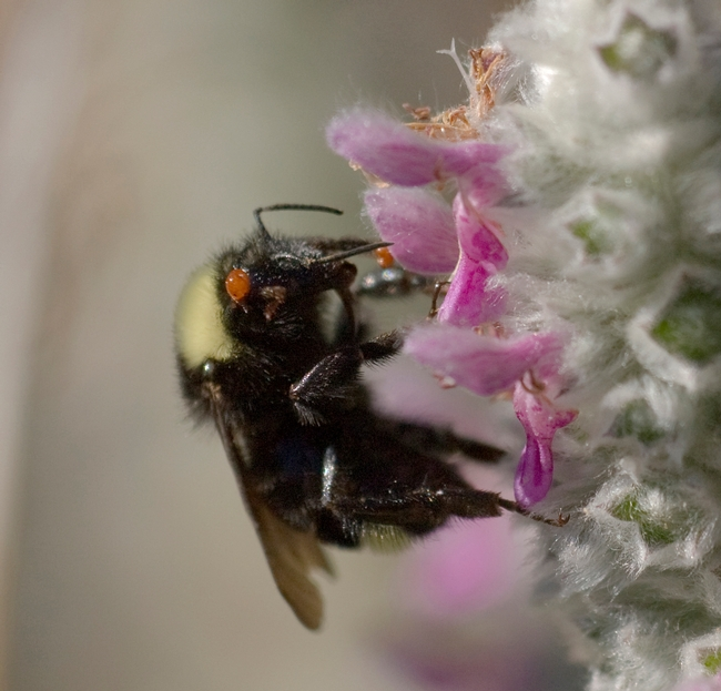 Bumble bee, Bombus californicus, with a hitchhiking varroa mite. (Photo by Allan Jones, Davis)